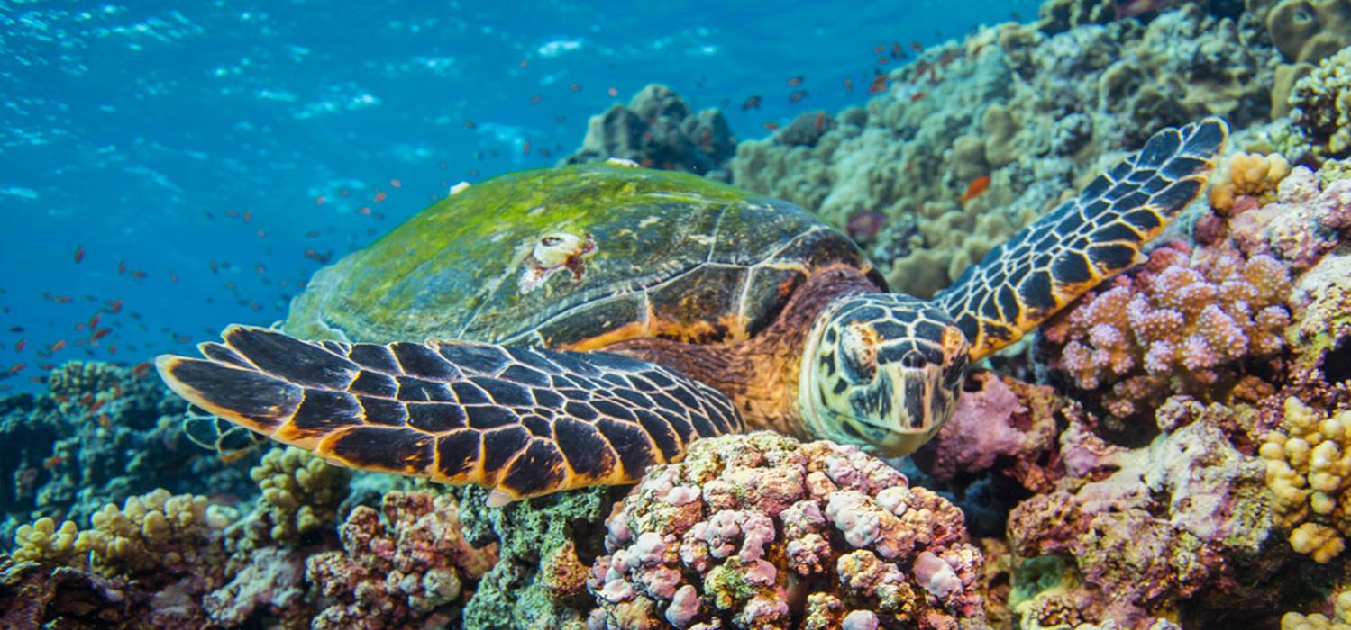 Sea turtle resting on corals